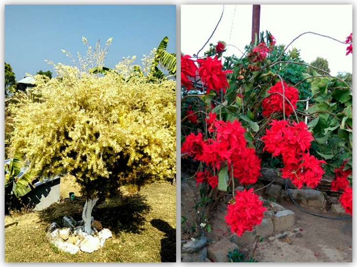 tamelgong-dailong-rose-yellow-shrub
