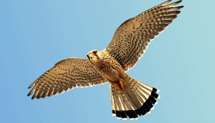 tamenglong-amur-falcon-national-geographic-edited