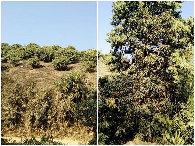 tamenglong-litchi-and-mango-orchard